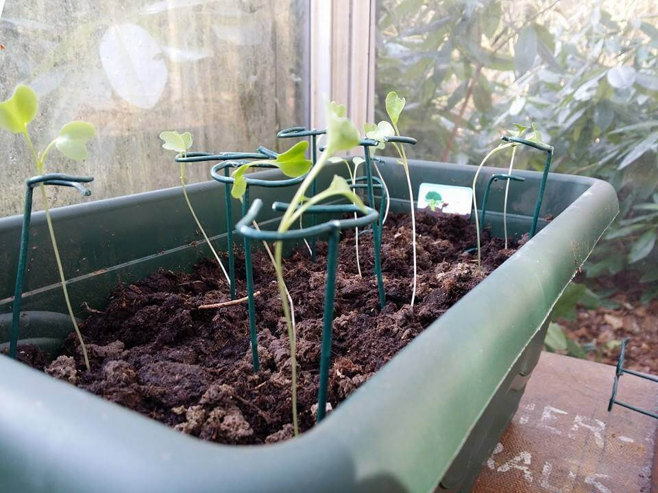 Stoofs moestuin steuntjes ter ondersteuning van slappe doorgeschoten plantjes